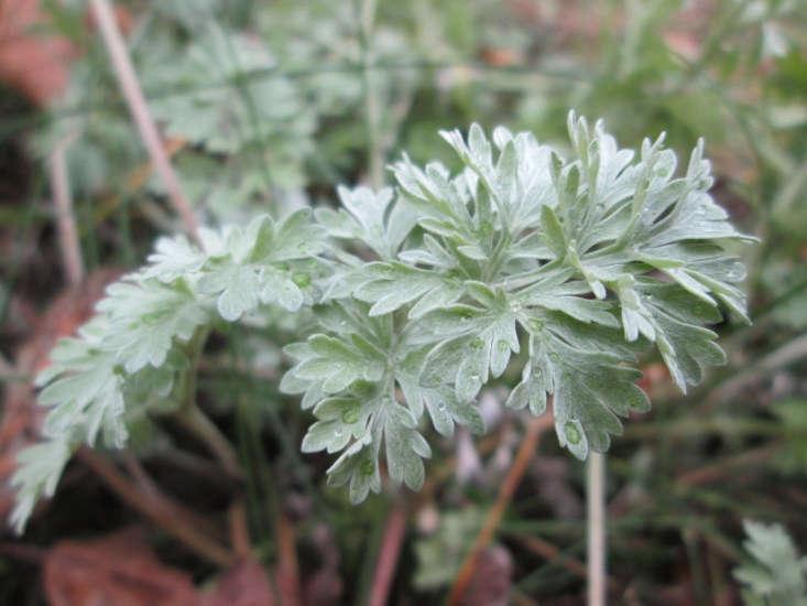 A la Artemisia absinthium le gusta el sol pleno y prefiere suelos pobres con excelente drenaje.  Es una buena opción para jardines con poca agua y es resistente desde las zonas 4 a 9 del USDA. Fotografía de Andreas Rockstein a través de Flickr.