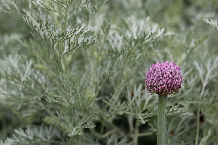 Junto con las robustas flores de allium (que resultan ser puerros en flor), el filagree plateado de Artemisia y el pompón lila aumentan en impacto visual.