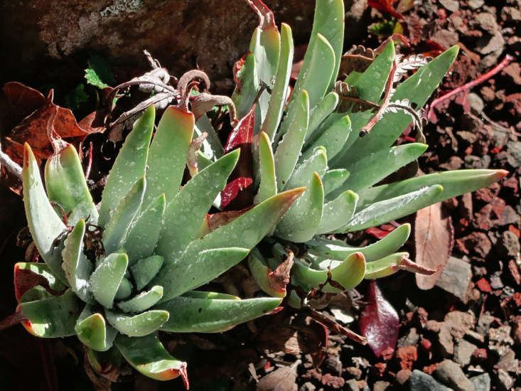Dudleya virens ssp. insularis (known as island green dudleya). Photograph by John Rusk via Flickr.