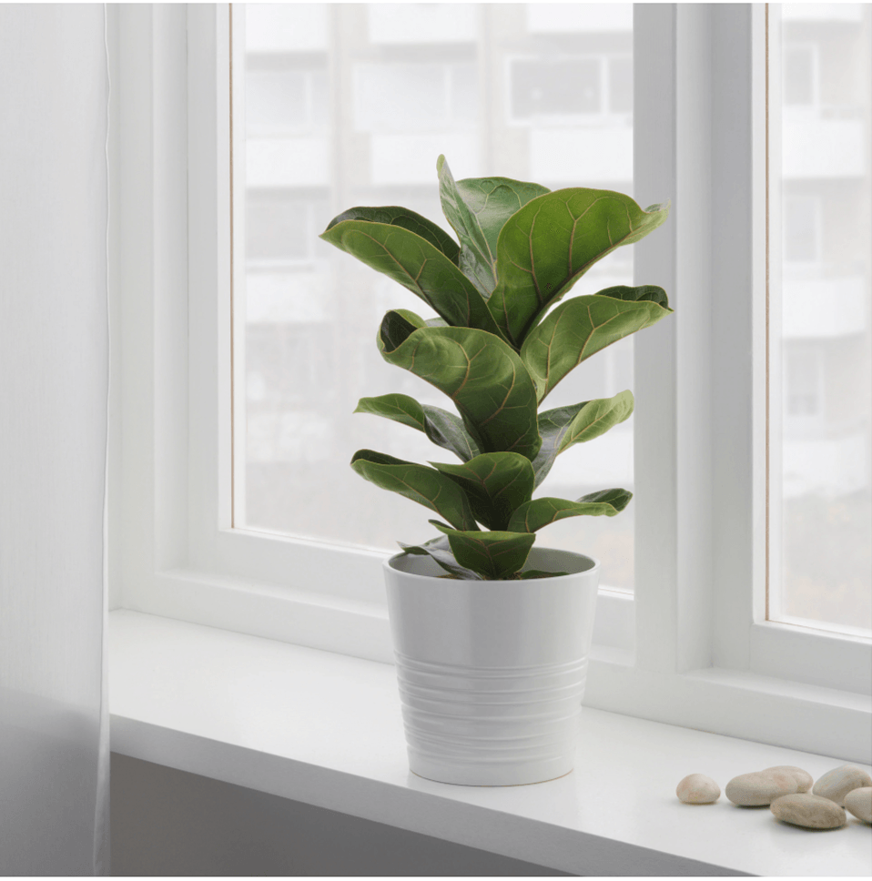10 Things Ody Tells You About Fiddle Leaf Fig Trees