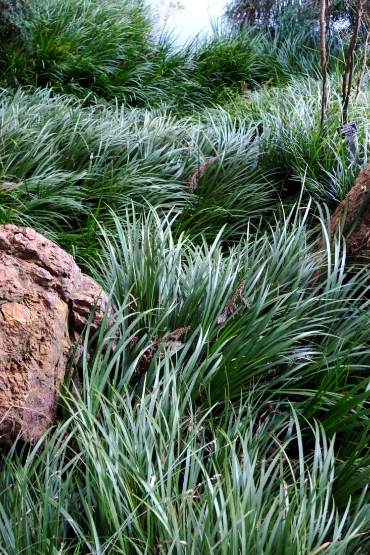 Japanese sweet flag grass (Acorus gramineus) flows down a slope at San Francisco Botanical Garden. Photograph by Daderot via Wikimedia.