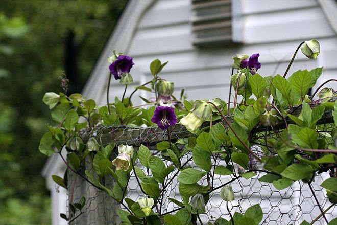 Cup-and-Saucer Vine