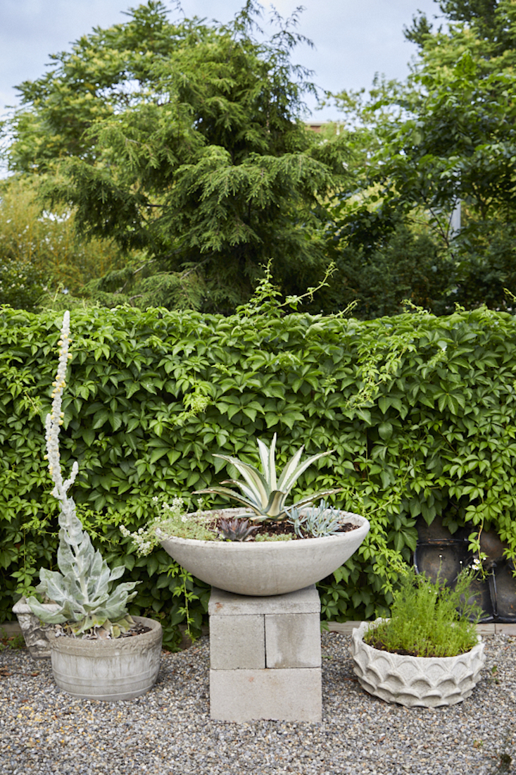 A volunteer Verbascum, variegated agave, and chamomile grow in planters.