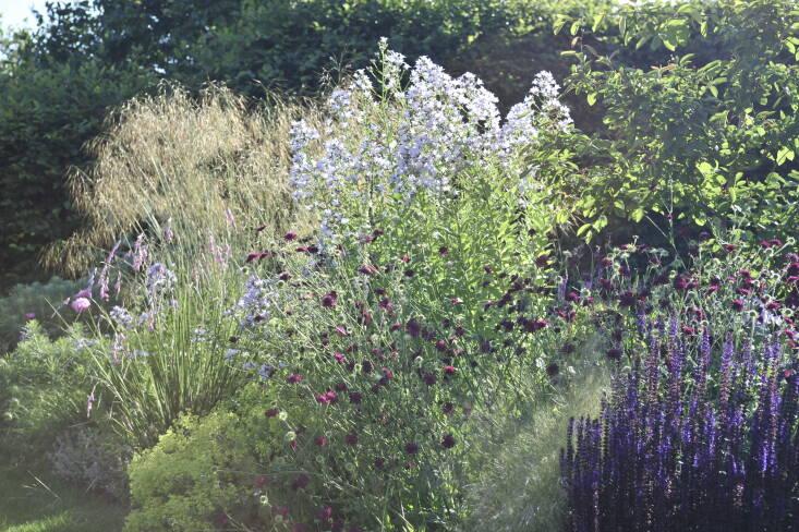 Salvia nemorosa, Knautia macedonica, Alchemilla mollis, and Campanula lactiflora in this border can all be cut back to encourage more flowers.
