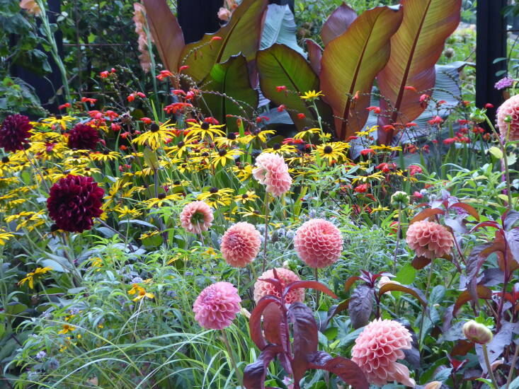 Sometimes the backdrop doesn't need to be a fence or wall but other plants: in the Cop \26 garden, stunning banana leaves work as a beautiful base to deep red and coral dahlias, crocosmia, and rudbeckia.