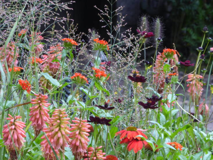 In different areas the palette shifts: here, the gorgeous chocolate cosmos and airy Panicum 'Rehbraun' act as a calming note amidst kniphofia and echinacea.