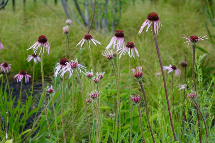 Echinacea pallida, native to North America, is a great flower to plant now for blooms all summer long. Photograph courtesy ofThomas Lynch Design, from Gardening \10\1: Coneflower.